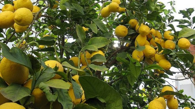 limonero 1