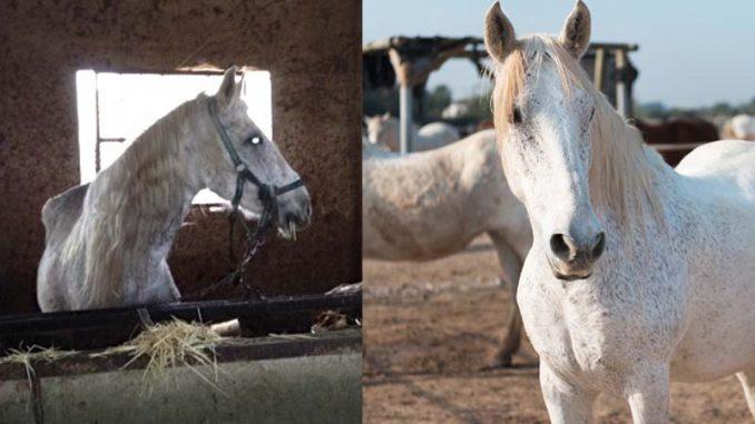 caballos rescatados