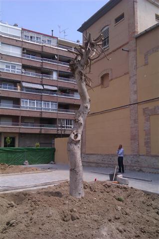 Ficus 2