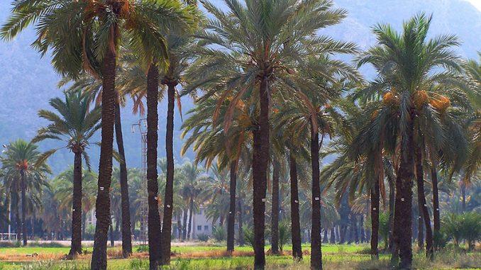 Palmeral Orihuela