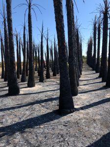 Un incendio calcina 150 palmeras en Daya Nueva