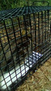 Orihuela lleva a cabo la esterilización de colonias de gatos sin propietario
