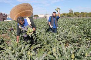 Los agricultores de alcachofa de la Vega Baja denuncian la falta de ayudas tras la DANA